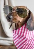 Roter Dachshundhund auf Holztisch Stockfotos
