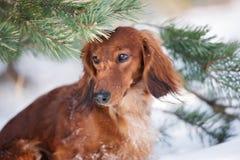 Roter Dachshundhund, der draußen im Winter aufwirft lizenzfreie stockbilder