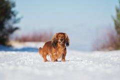Roter Dachshundhund, der draußen in Winter geht lizenzfreies stockbild