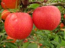 Roter-Deliciousäpfel stockfotos