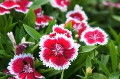 Roter Dianthus mit weißer Grenze Stockfoto