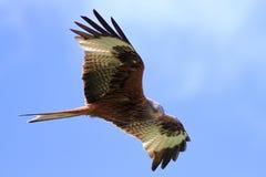 Roter Drachen (Milvus milvus) Lizenzfreie Stockfotografie