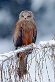 Roter Drachen, Milvus-milvus, sitzend auf der Niederlassung mit Schneewinter Stockbild