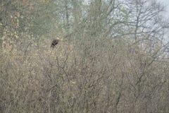 Roter Drachen sitzt auf einem Baum, welche nach Nahrung sucht lizenzfreie stockbilder