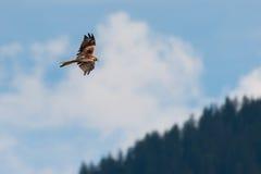 Roter Drachenvogel fliegt Höhe oben über Wald Lizenzfreie Stockbilder