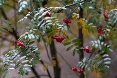 Roter Ebereschenbaum im Herbst nach dem ersten Schnee Stockfotos