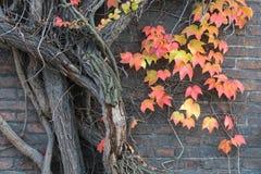 Roter Efeu und alte Backsteinmauer Stockfotografie
