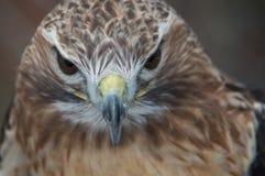 Roter Endstück-Falke, der gerade voran schaut Lizenzfreie Stockfotografie