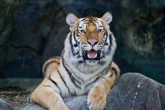 Roter erwachsener Tiger hat einen Rest in einem Zoo. Lizenzfreies Stockbild