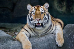 Roter erwachsener Tiger hat einen Rest in einem Zoo. Stockbilder
