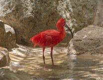 Roter exotischer Vogel, der im Wasser steht lizenzfreie stockfotografie