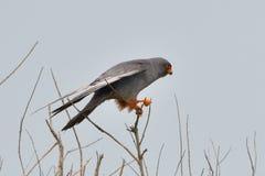 Roter füßiger Falke in der Spitze eines Baums stockfotografie