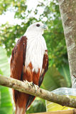 Roter Falke. Stockbilder