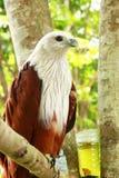 Roter Falke. Stockfotografie
