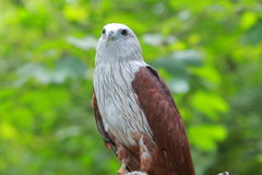 Roter Falke Stockfoto