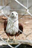 Roter Falke im Käfig Stockfoto