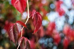 Roter Fall der wilden Trauben lässt Hintergrund Stockbild