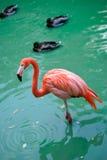 Roter Flamingo Stockbild