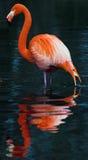 Roter Flamingo Lizenzfreies Stockfoto
