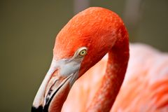 Roter Flamingo in einem Park in Florida Lizenzfreie Stockbilder