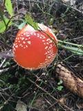 Roter Fliegenpilz im Wald Stockbild