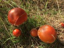 Roter Fliegenpilz im Wald Lizenzfreie Stockfotos