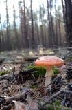 Roter Fliegenpilzpilzwulstling im Herbstwald Stockfoto