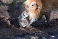 Roter Fluss-Schwein Stockbild