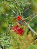 Roter Fody-Vogel im natürlichen Lebensraum Stockfotos