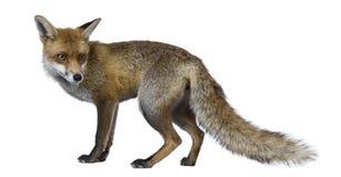 Roter Fox, 1 Einjahres, stehend Lizenzfreies Stockfoto