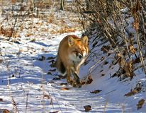 Roter Fox 13 Stockfotos