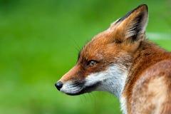 Roter Fox Lizenzfreies Stockfoto