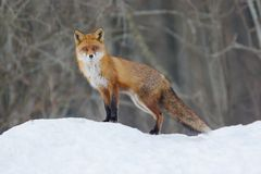 Roter Fox Stockbild