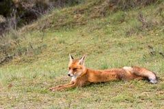 Roter Fox Stockbilder