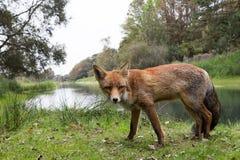 Roter Fox Stockfoto