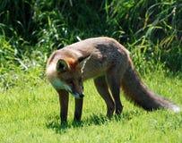 Roter Fox   Lizenzfreie Stockfotos