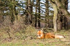 Roter Fox Stockfotos