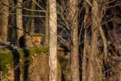 Roter Fox auf einem Felsen Stockfotografie
