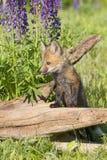Roter Fox-Ausrüstung in den Lupineblumen Lizenzfreie Stockbilder