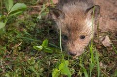 Roter Fox-Ausrüstung u. x28; Vulpes vulpes& x29; Kopf Stockfotos