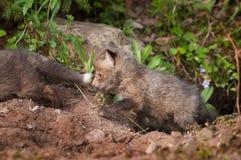 Roter Fox-Ausrüstung (Vulpes Vulpes) folgen Littermate aus Höhle heraus Lizenzfreie Stockfotos