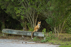 Roter Fox balanciert auf Forest Bench Lizenzfreie Stockbilder