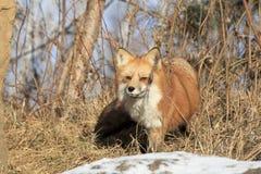 Roter Fox in der Bürste Stockbilder