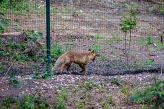 Roter Fox in der Gefangenschaft lizenzfreie stockbilder