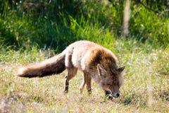 Roter Fox, der in Gras geht lizenzfreies stockbild