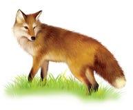 Erwachsener shaggy roter Fox, der im Gras steht. Stockbild