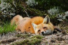 Roter Fox, der in Moos legt lizenzfreies stockfoto