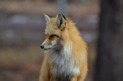 Roter Fox, der unten schaut lizenzfreies stockfoto