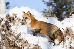 Roter Fox, der am vollen Alarm steht Lizenzfreies Stockfoto