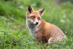 Roter Fox, der zurück (Vulpes, schaut Vulpes) lizenzfreie stockbilder